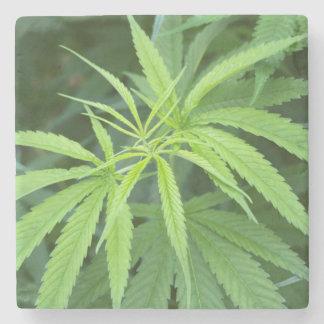 Opinión del primer de la planta de marijuana, posavasos de piedra
