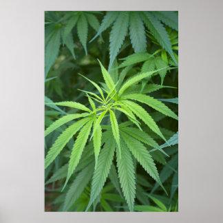 Opinión del primer de la planta de marijuana, póster