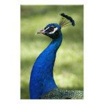 Opinión del primer el pavo real, jardines botánico arte fotográfico