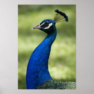 Opinión del primer el pavo real, jardines botánico poster