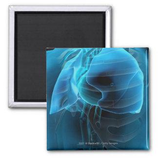 Opinión del tres cuartos del corazón y de los pulm imán