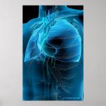 Opinión del tres cuartos del corazón y de los pulm posters