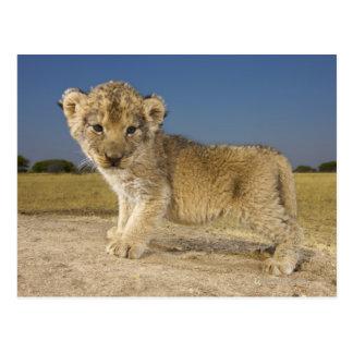 Opinión el cachorro de león joven (Panthera leo), Tarjetas Postales