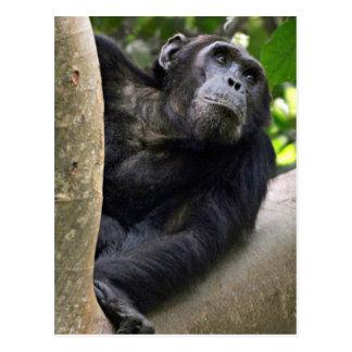 Opinión el chimpancé (trogloditas de la cacerola) tarjeta postal