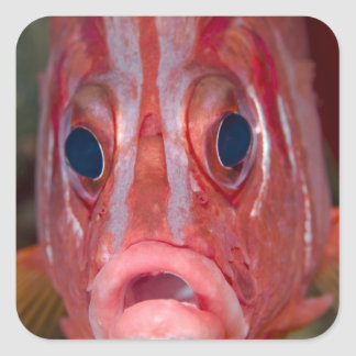 Opinión frontal del primer el squirrelfish pegatina cuadrada