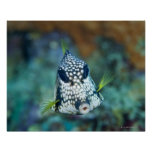 Opinión subacuática el Trunkfish liso (Lactophrys Impresiones