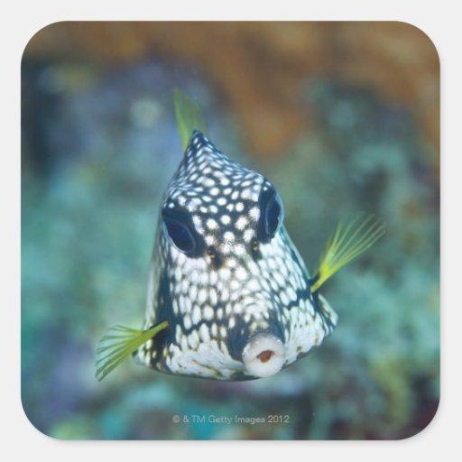 Opinión subacuática el Trunkfish liso (Lactophrys Calcomanias Cuadradas