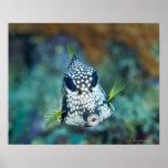 Opinión subacuática el Trunkfish liso (Lactophrys Póster