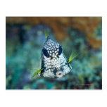 Opinión subacuática el Trunkfish liso (Lactophrys Postal