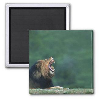 Opinión un león (Panthera leo) que abre su boca Iman De Frigorífico