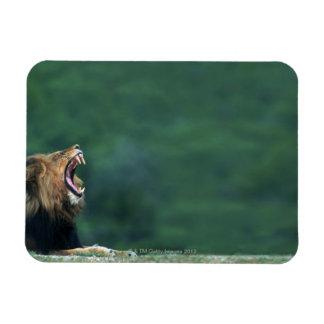 Opinión un león (Panthera leo) que abre su boca Iman De Vinilo