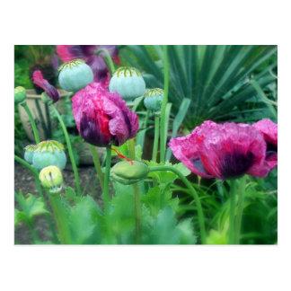 Opium Poppies Postcard