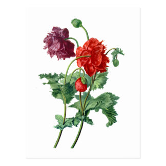 Opium Poppy Drawn From Nature by Van Spaendonck Postcard