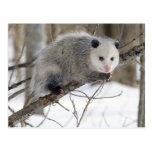 Opossum Love Postcard