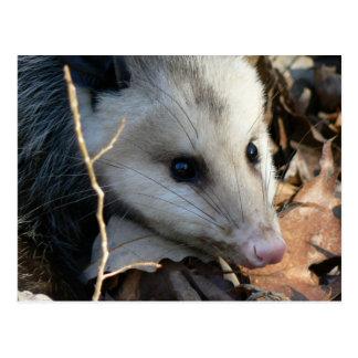 Opossum Postcard. Postcard
