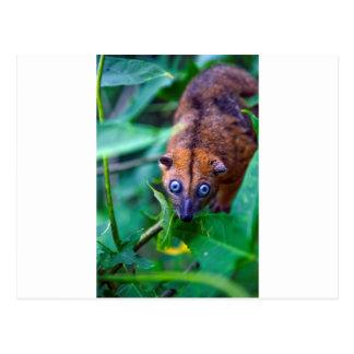 Oposum peludo lindo del cuscus que mira la cámara postales