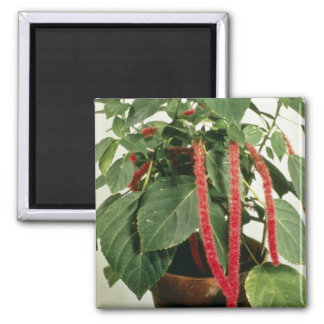 Orange Acalypha Hispida Chenille Plant flowers 2 Inch Square Magnet