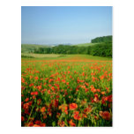 Orange Agricultural poppy field, Falmer Post Cards