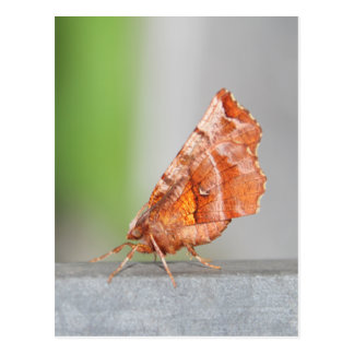 Orange and Brown Moth. Postcard