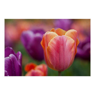 Orange and Pink Late Tulip Print
