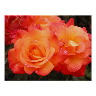Orange and Pink Roses Poster
