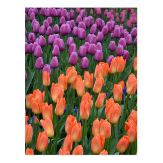 Orange and purple spring tulips postcard