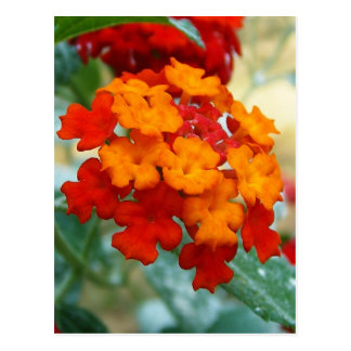 Orange and Red Lantana Postcard