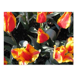 Orange and yellow fire tulips postcard
