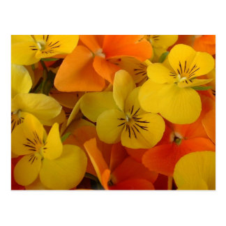 Orange and Yellow Johnny Jump Up Postcard
