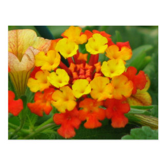 Orange and Yellow Lantana Postcard