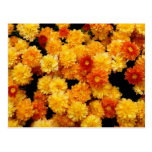 Orange and Yellow  Mums Postcard