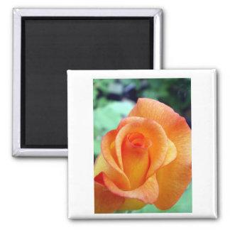 Orange and Yellow Rosebud 2 Inch Square Magnet