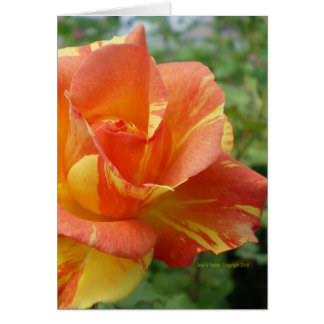 Orange and Yellow Striped Rose Card