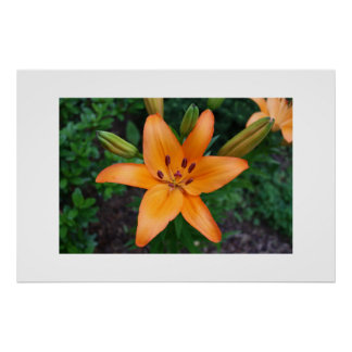 Orange Asiatic Lily Poster