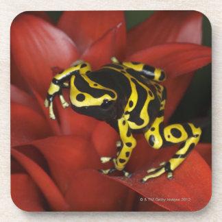Orange banded dart frog  Dendrobates leucomelas Drink Coasters