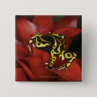 Orange banded dart frog  Dendrobates leucomelas Pinback Button