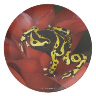 Orange banded dart frog  Dendrobates leucomelas Dinner Plate