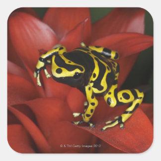 Orange banded dart frog  Dendrobates leucomelas Square Sticker