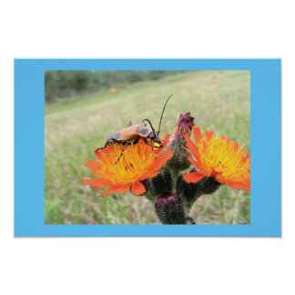 Orange Beetle on Fire Weed Poster