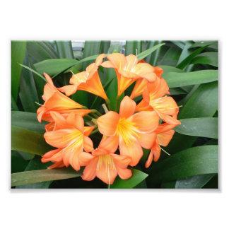 Orange Bush Lily Flower or Natal Lily Art Photo
