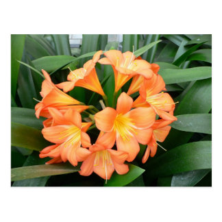 Orange Bush Lily Flower or Natal Lily Post Cards