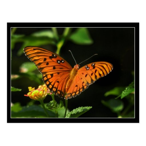Orange Butterfly and Lantana Photo Postcard