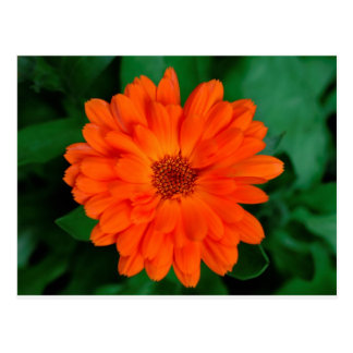 Orange Calendula Marigold Design Postcard