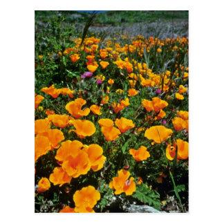 Orange California Poppies flowers Postcards