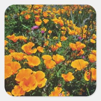 Orange California Poppies flowers Square Sticker
