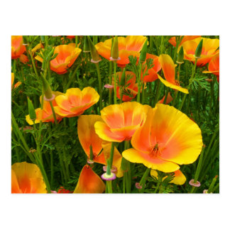 Orange California Poppies / Kalifornischer Mohn Postcard