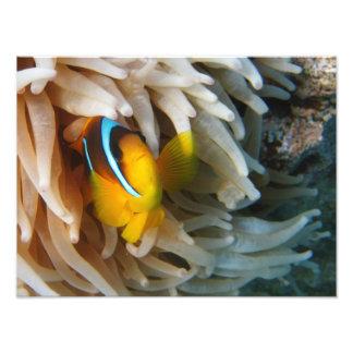 Orange Clown Fish Photo Print