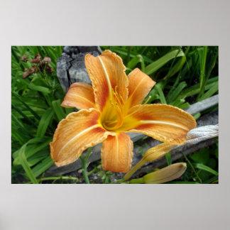 Orange color daylily -tiger lily- flower. print