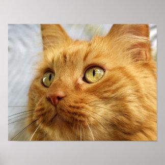 Orange Coon Cat Poster