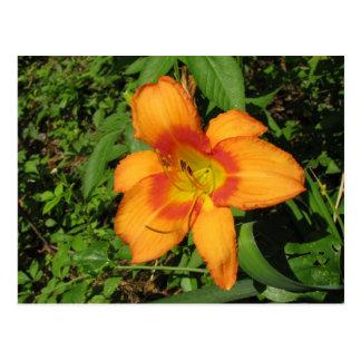Orange Crush Daylily Postcard